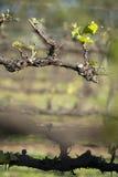 Organische wijngaard in McLaren-Dal, Australië Stock Afbeeldingen
