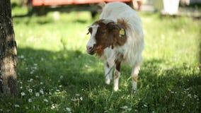 Organische Ziege, die im Schatten sich einzieht stock video footage