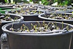 Organische zoete kersen in zwarte plastic emmers Stock Foto's