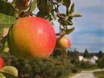 Organischer Apfelgarten Lizenzfreies Stockfoto