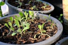 Organischer Babykopfsalat des Sämlings in den schwarzen Töpfen lizenzfreie stockbilder