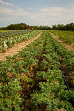Organischer Bauernhof Lizenzfreie Stockfotografie