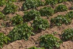 Organischer Bio- gesunder Kartoffelacker in einem Dorf in Nord-Marokko stockbild