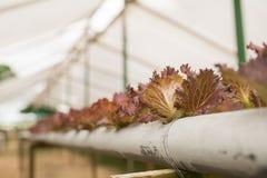 Organischer Gemüseanbau im Gewächshaus stockbild