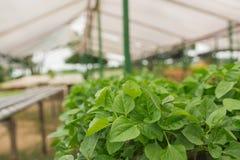 Organischer Gemüseanbau im Gewächshaus lizenzfreie stockfotografie