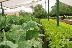 Organischer Gemüseanbau im Gewächshaus stockbilder