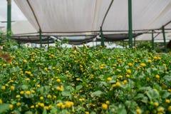 Organischer Gemüseanbau im Gewächshaus stockfotos