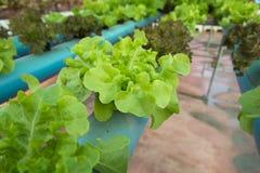 Organischer Gemüsebauernhof des Kopfsalates Lizenzfreie Stockbilder