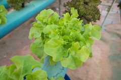 Organischer Gemüsebauernhof des Kopfsalates Stockfotos