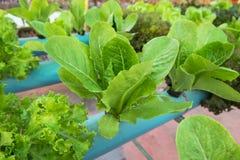 Organischer Gemüsebauernhof des Kopfsalates Lizenzfreies Stockbild