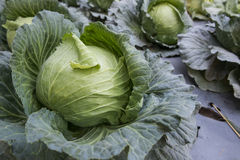 Organischer Gemüsebauernhof des Kopfsalates Lizenzfreie Stockfotos