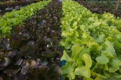 Organischer Gemüsebauernhof des Kopfsalates Lizenzfreie Stockfotografie