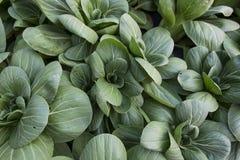 Organischer Gemüsebauernhof des Kopfsalates Stockfoto