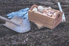 Organischer Gemüsegarten im Spätsommer Herbst, der Knoblauch im organischen städtischen Garten pflanzt stockbilder
