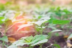 Organischer Gemüsegarten und die Morgensonne Stockfoto