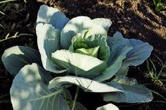 Organischer Gemüsekohl Lizenzfreie Stockfotografie