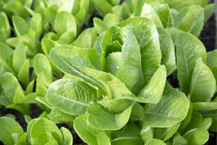 Organischer Gemüsekopfsalat stockfotos