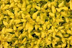 Organischer goldener Majoran Stockbilder