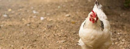 Organischer Hühnerbauernhof Henne draußen am Frühjahr lizenzfreie stockfotografie