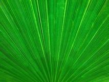 Organischer Hintergrund, lineare Beschaffenheit des Palmblattes Stockfoto