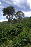 Organischer Kaffebauernhof Lizenzfreies Stockbild