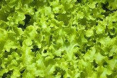 Organischer Kopfsalat Stockbild