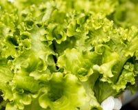 Organischer Kopfsalat Lizenzfreie Stockfotografie