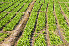 Organischer Kopfsalatgarten Lizenzfreie Stockbilder