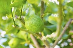Organischer Limettenbaum Lizenzfreies Stockfoto