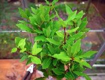 Organischer Lorbeerbaum mit Lorbeerblättern Laurus nobilis lizenzfreie stockfotos