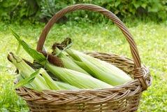 Organischer Mais Stockfoto