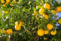 Organischer Orangenbaum. Stockbilder
