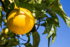 Organischer Orangenbaum. Lizenzfreies Stockfoto