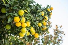 Organischer Orangenbaum. Stockfoto