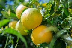 Organischer Orangenbaum. Stockbild