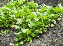 Organischer Rettich rudert den Sämling, der im Gemüsegarten wächst Stockbild
