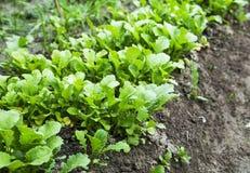 Organischer Rettich rudert den Sämling, der im Gemüsegarten wächst Stockfotos