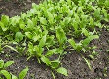 Organischer Spinatssämling rudert das Wachsen im Gemüsegarten Stockbilder