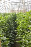 Organischer Wasserkulturgemüseanbaubauernhof an der Landschaft, Jordan Valley Stockfotos