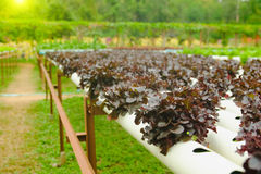 Organischer Wasserkulturgemüseanbaubauernhof an der Landschaft, Thailand Lizenzfreies Stockbild