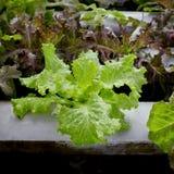 Organischer Wasserkulturgemüseanbaubauernhof - nahes hohes Stockbilder