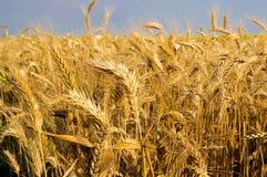 Organischer Weizen Stockfotos