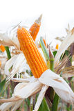 Organischer Zuckermais Lizenzfreies Stockfoto