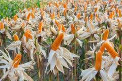 Organischer Zuckermais Stockbilder