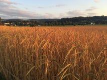 Organisches buchstabiertes Feld bei Sonnenuntergang lizenzfreie stockfotos