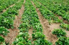 Organisches Erdbeerfeld. Stockfoto