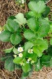 Organisches Erdbeerfeld. Lizenzfreies Stockbild