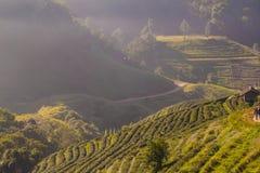 Organisches Feld der Teeplantage mit Nebel auf dem Hochlandberg Lizenzfreies Stockfoto