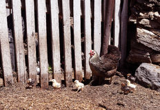 Organisches Geflügel der Henne Stockfotos