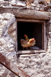 Organisches Geflügel der Henne Stockfotografie